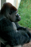 gorrilla- young male