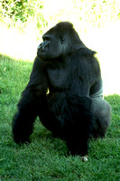 gorrilla- adult male